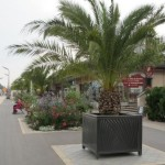 Un palmier dattier.