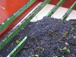 pinot noir, vendangé à la machine (photo C.Simon)
